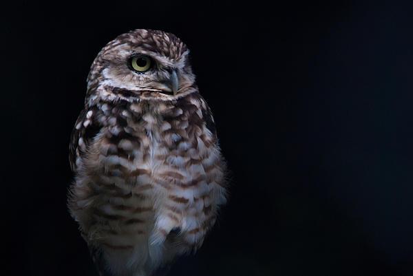 Daniel Kocian - Owl