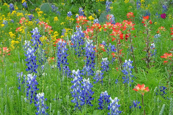 Lynn Bauer - Texas Wildflowers