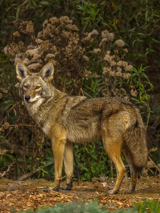 Ernie Echols - The Coyote