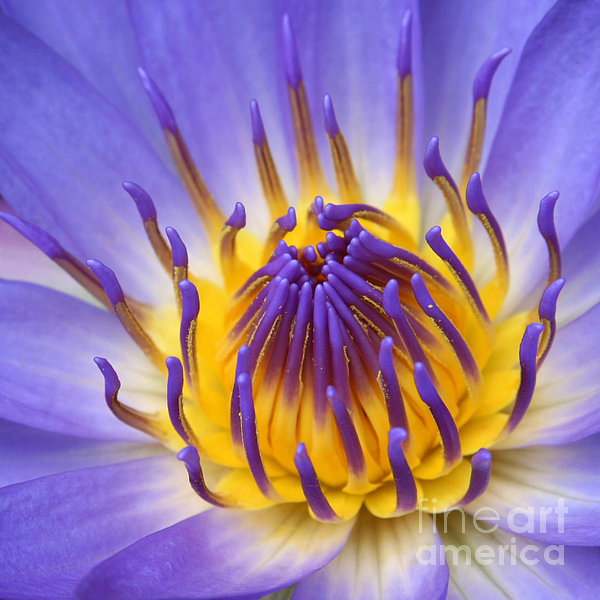 Sharon Mau - The Lotus Flower