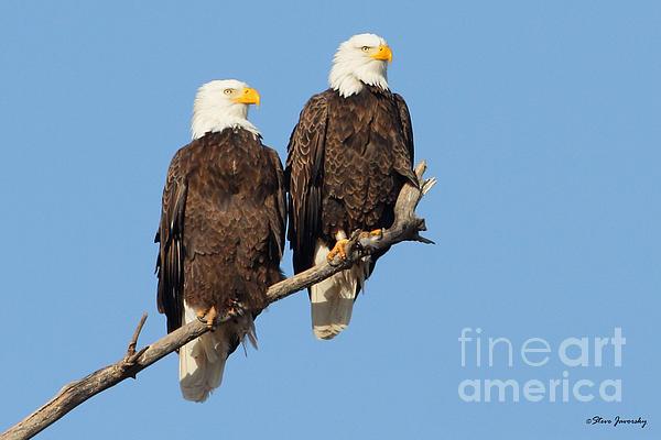 Steve Javorsky - Bald Eagle
