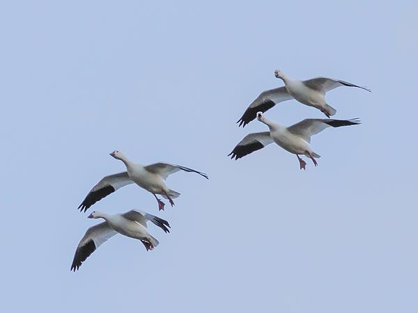 Jean Noren - Flying Snow Geese