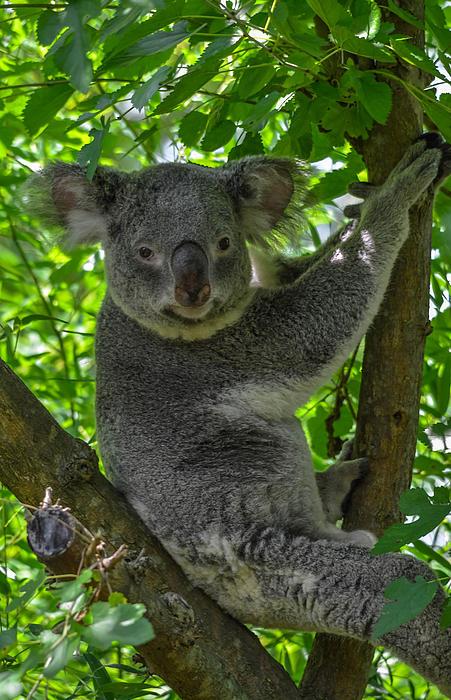 Brian Stevens - Koala bear