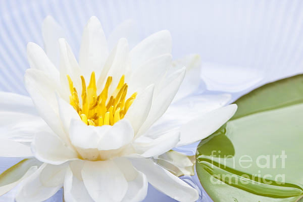 Elena Elisseeva - Lotus flower