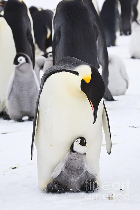 PENGUIN PENGUINS SNOW ICE BACKGROUND COTTON FABRIC FQ