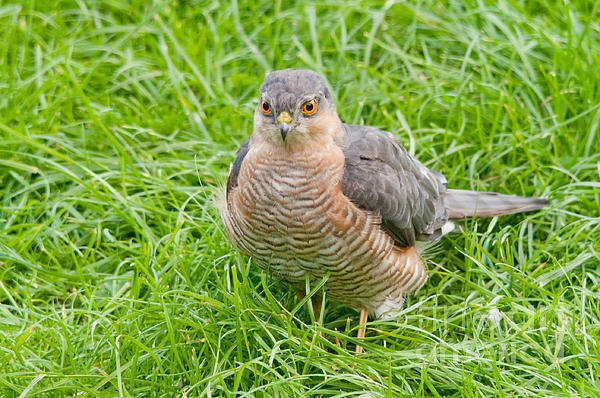 M S Photography Art - Sparrow Hawk