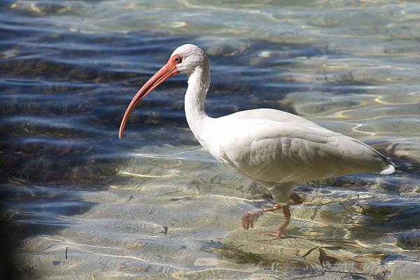 Christiane Schulze Art And Photography - White Ibis