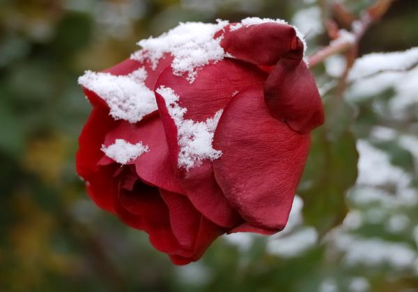 Steven Milner - A Passing Unrequited - Rose In Winter