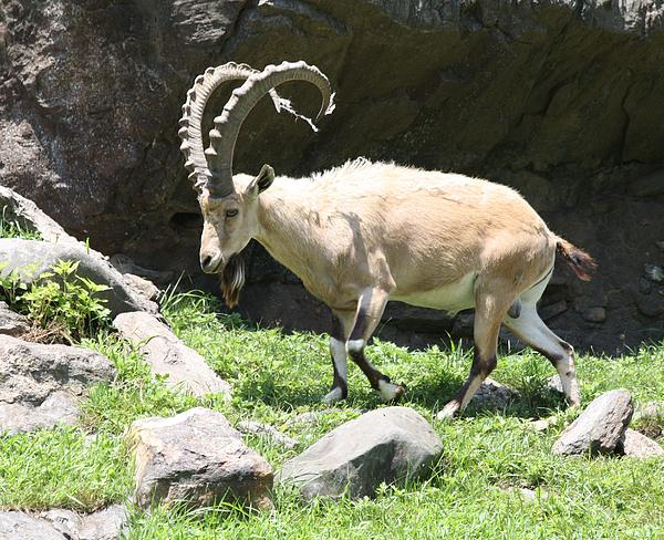 John Telfer - Adult Male Ibex Charging