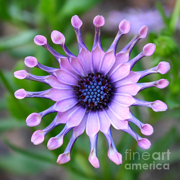 Carol Groenen - African Daisy - Square Format
