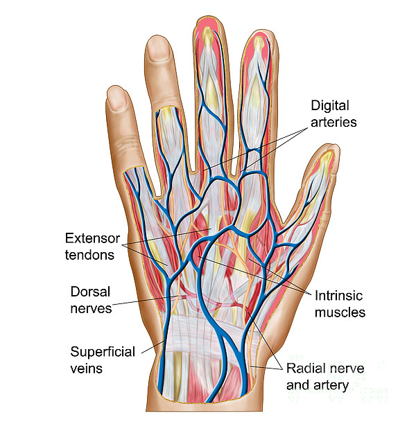 Anatomy Of Back Of Human Hand Shower Curtain for Sale by Stocktrek ...