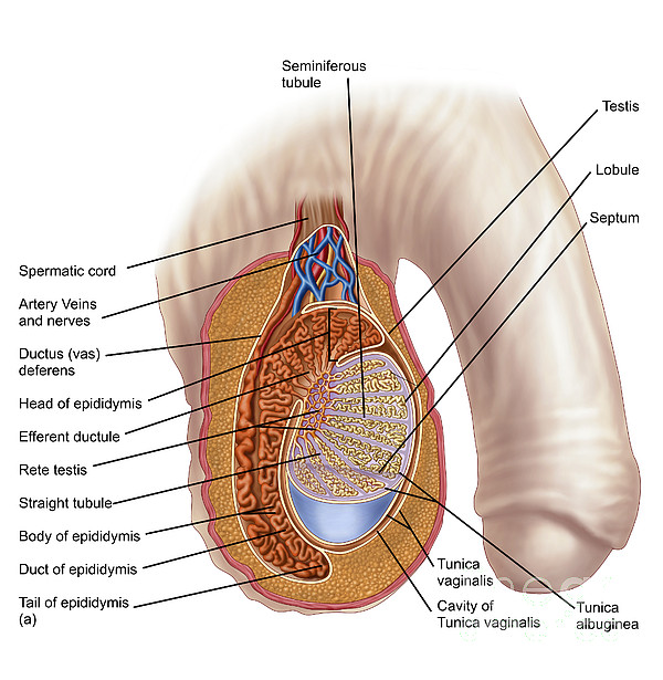 Anatomy Of Male Testis Round Beach Towel for Sale by Stocktrek Images
