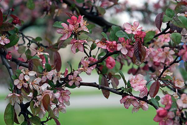 Kay Novy - Apple Blossom Time