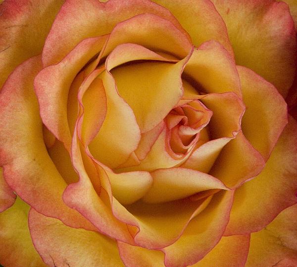 Michael Friedman - Apricot Rose