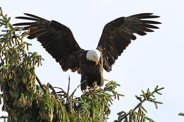 Shoal Hollingsworth - Bald Eagle in the Tree