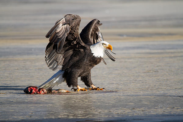 Eti Reid - Bald eagle protecting his food