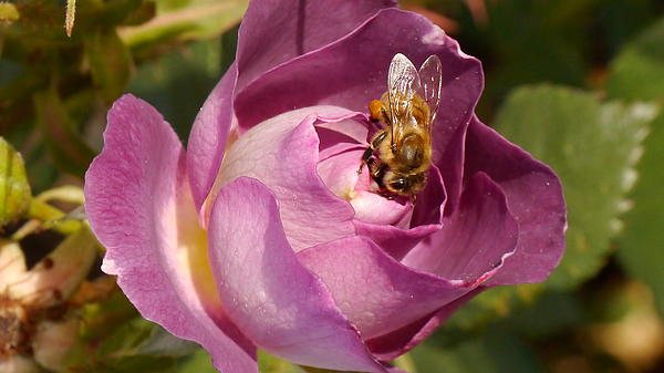 Christiane Schulze Art And Photography - Bee On Blue For You Rose