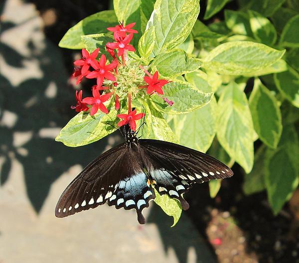 Karen Silvestri - Black Swallowtail