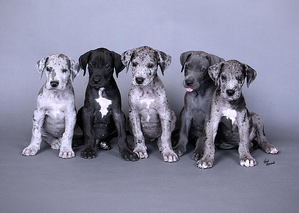 Blue Merle Great Dane Puppies Greeting Card for Sale by ...