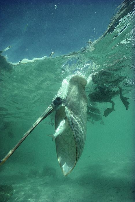 Tui De Roy - Brown Pelican Catching Mullet