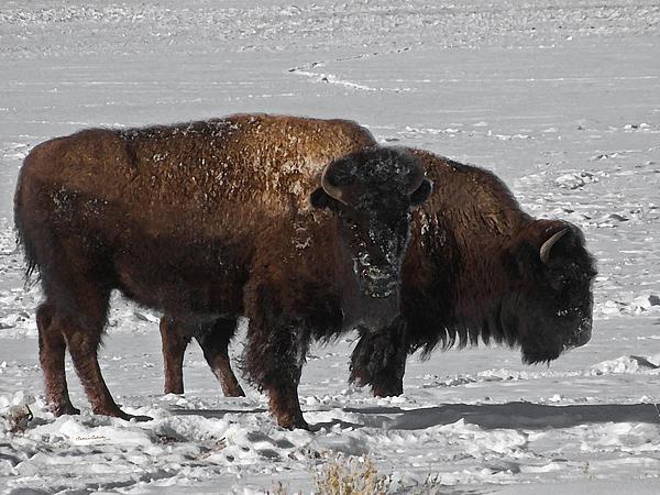Ernie Echols - Buffalo in Snow