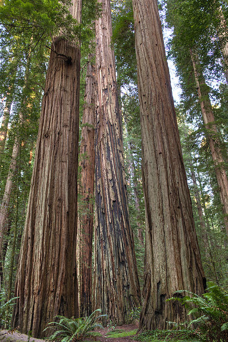 Loree Johnson - California Coastal Redwood Forest