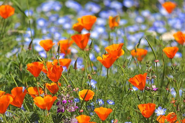Liz Vernand - California Poppy field