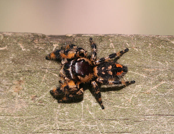 April Wietrecki Green - Canopy Jumping Spider