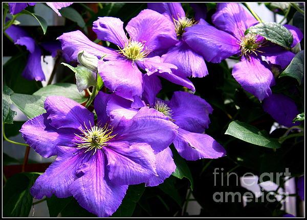 Dora Sofia Caputo Photographic Art and Design - Cascade of Purple Blossoms