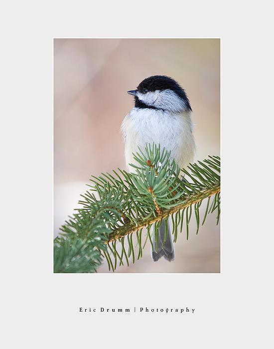 Eric Drumm - Chickadee on a Branch