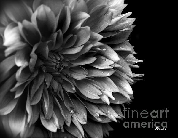 Eena Bo - Chrysanthemum in Black and White