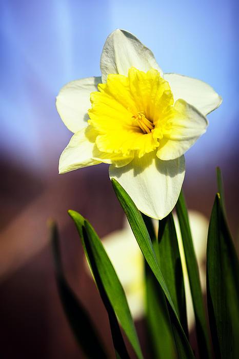 Sennie Pierson - Daffodil Blossom
