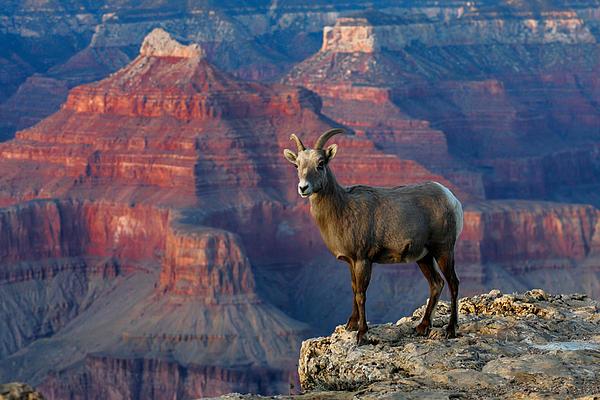 Webb Canepa - Desert BigHorn Sheep Grand Canyon
