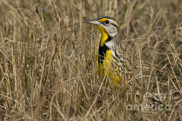 Meg Rousher - Eastern Meadowlark
