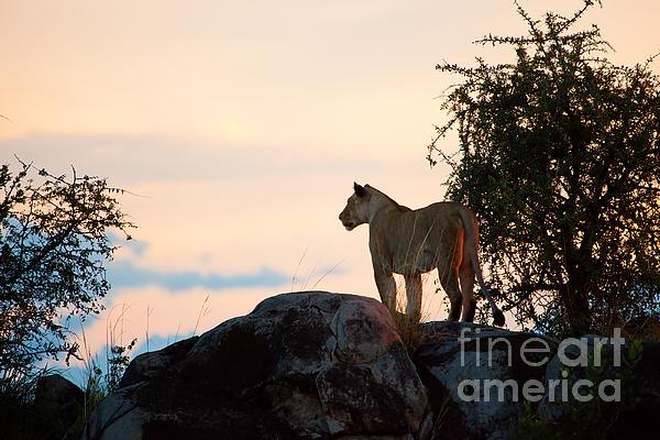 Michal Bednarek - Female lion at sunset. Serengeti. Tanzania