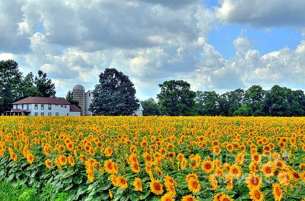 Kathleen Struckle - Field Of Sunflowers