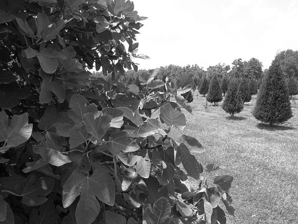 Beth Vincent - Fig Tree