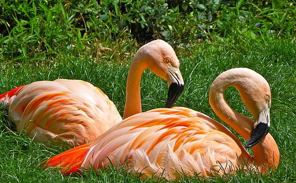 Eve Spring - Flamingo Duo