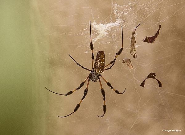 Roger Wedegis - Florida Banana Spider