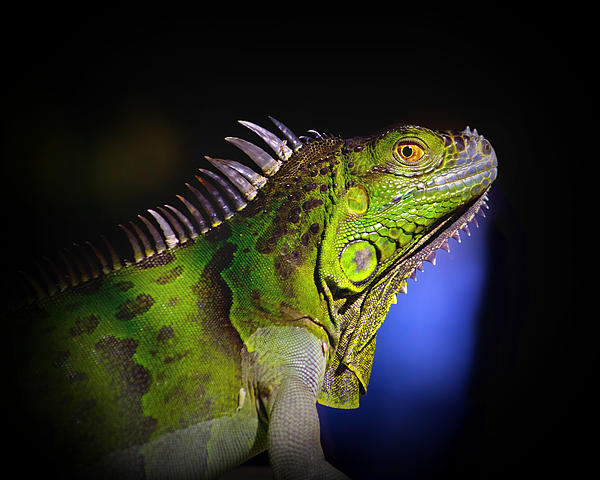 Mark Andrew Thomas - Florida Iguana