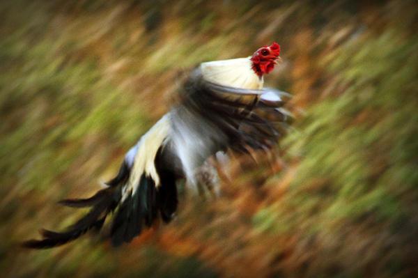 Linda Unger - Flying Rooster