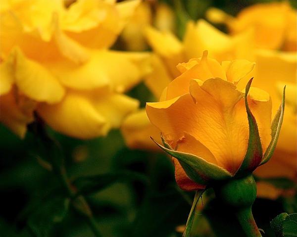 Rona Black - Friendship Roses