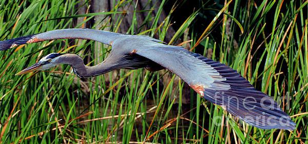 Larry Nieland - Great Blue Heron Flight Pano