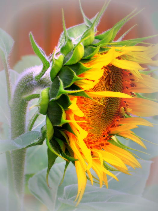 Kay Novy - Glorious Sunflower