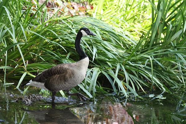 John Telfer - Goose Walking Back In For A Swim