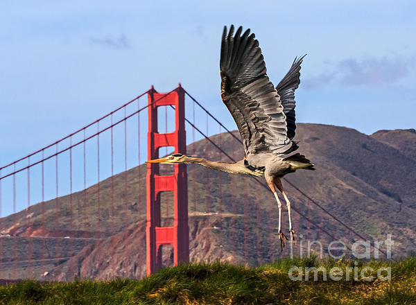 Kate Brown - Great Blue at the Golden Gate