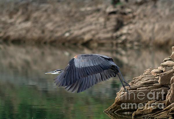 Douglas Stucky - Great Blue in Flight