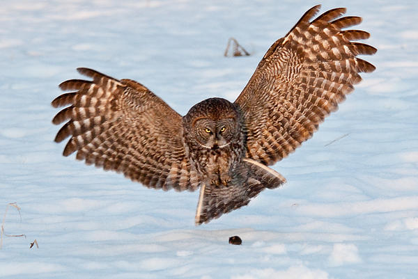 Robert McAlpine - Great Gray Owl Pouncing