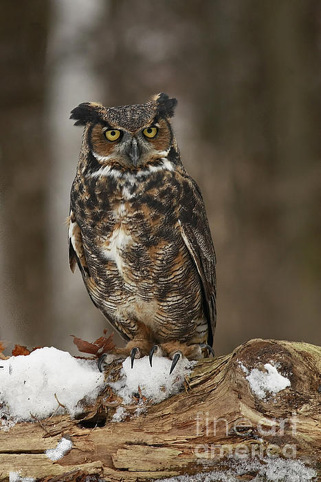 Inspired Nature Photography Fine Art Photography - Great Horned Owl Watching You