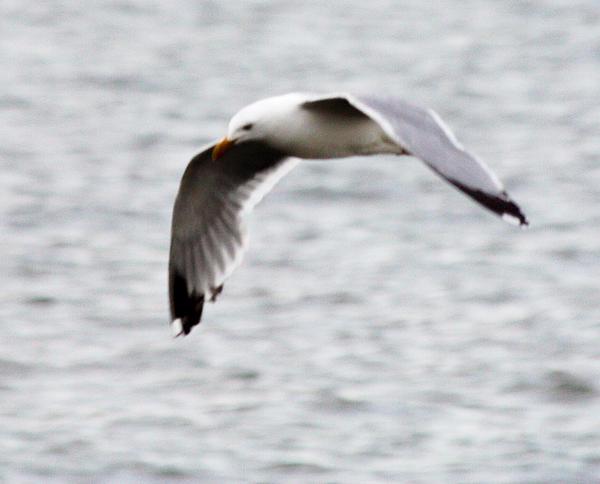 John Telfer - Herring Seagull in Full Flight
